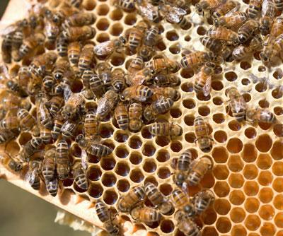 유럽의 꿀벌에게서 최대 57개의 서로 다른 살충제가 확인되다.