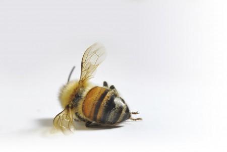미국 꿀벌의 수가 일 년 만에 40퍼센트 감소하다.