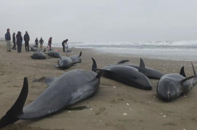 후쿠시마 근방 해변에 죽은 돌고래들의 폐가 하얗게 변한 것이 확인되다.