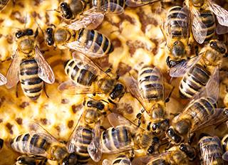 벌이 죽는 원인이 살충제에 있다는 연구가 발표되다
