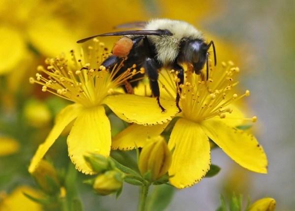 벌들의 살충제 노출이 꽃 선택과 행동에 영향을 미친다.