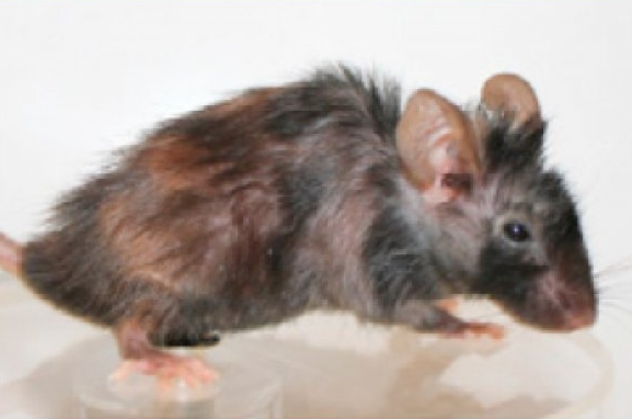 노화를 되돌리는 약물이 동물 임상실험에 성공했다.