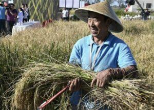 바닷물에서 벼 재배에 성공한 중국