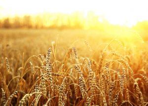 캐나다에서 발견된 몬산토의 불법 유전자 변형 밀