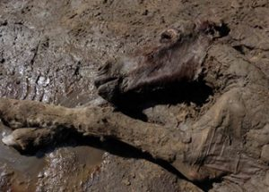 러시아 영구 동토층에서 발견된 4만 2천 년 전에 죽은 망아지에서 액체 상태의 혈액이 채취되다